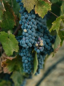 Black grapes on vine
